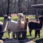 Ankunft der wolligen Mini-Kamele